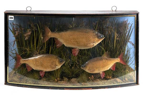 J Cooper & Sons, an early 20th Century case of taxidermy preserved rudd/roach